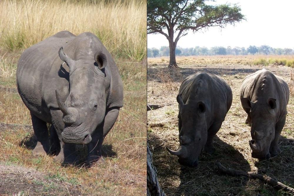 white rhino zambia